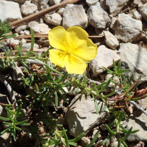 Helianthemum Nummularium Trevans