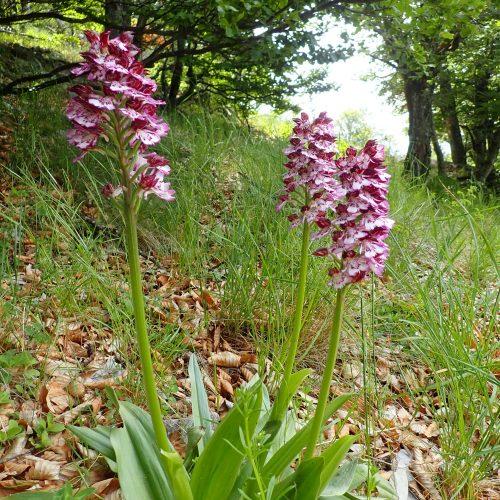 Orchis Purpurea Hêtraie De Lure