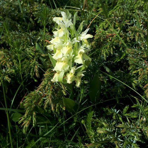 Orchis Sambucina Jaune