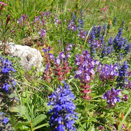 Ajuga Pyramidalis Et Scutellaria Alpina