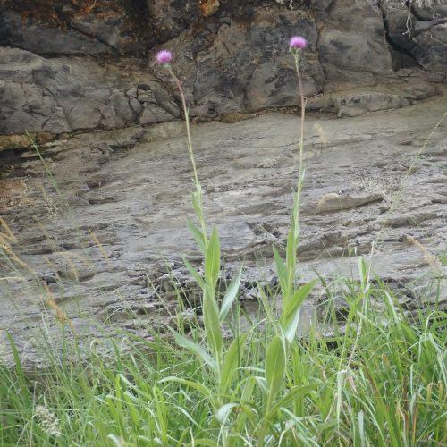 Cirsium Monspessulanus Cirse De Montpellier