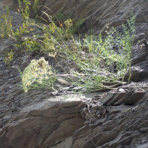 Laserpitium Gallicum