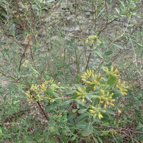 Bupleurum Fruticosum 1 1