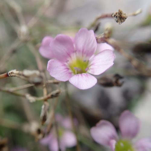 Gypsophyle 1