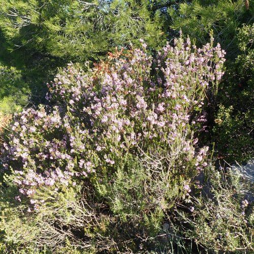 Erica Multiflora Bruyere A Nombreuses Fleurs