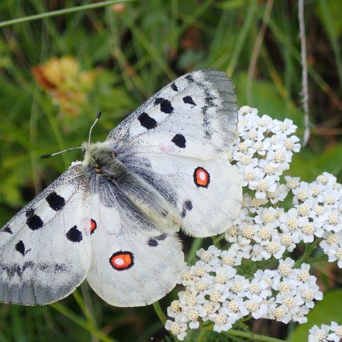 Achillee Et Papillon
