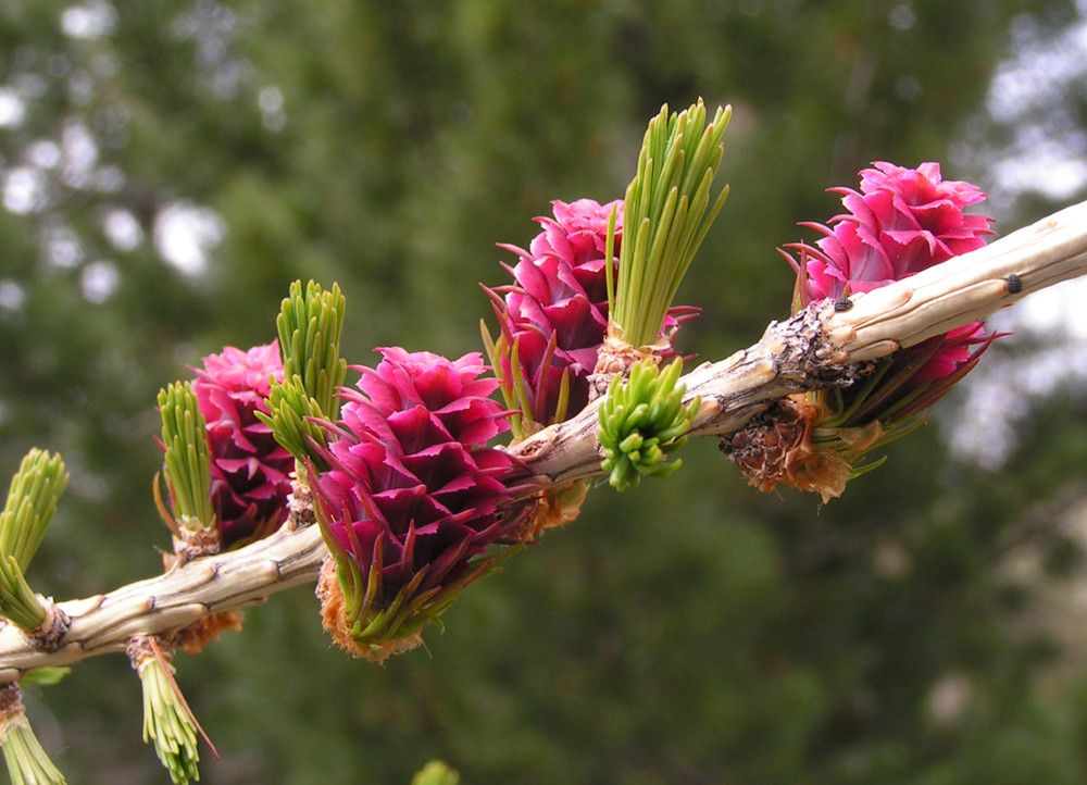 Fleurs Meleze