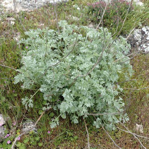 Artemisium Absinthium