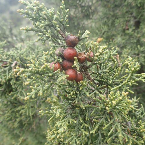 Juniperus Phoenicus Detail