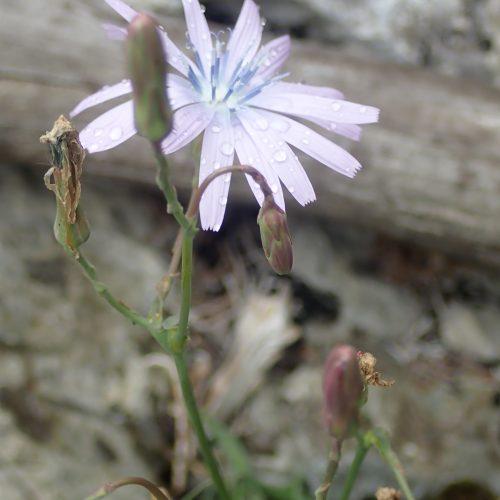 Lactuca Perennis Fleur