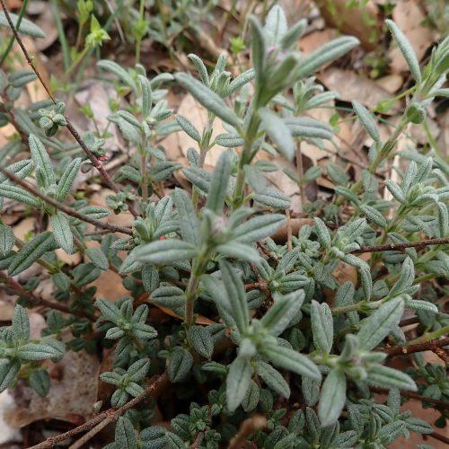 Teucrium Montanum Feuilles