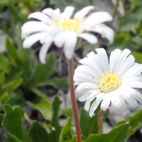 Bellidiasrum Michelii Aster Paquerette