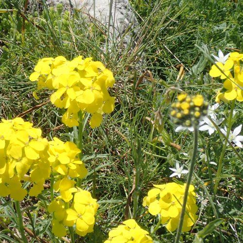 Erysimum Rhaeticum Velar De Suisse