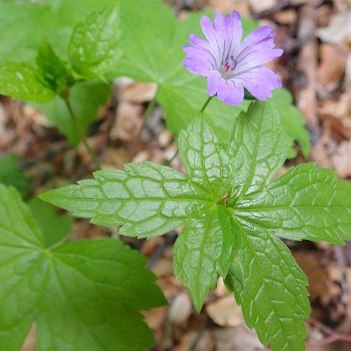 Geranium Nodosum Montclar