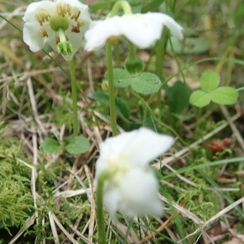 Moneses Uniflora Pyrole A Une Fleur