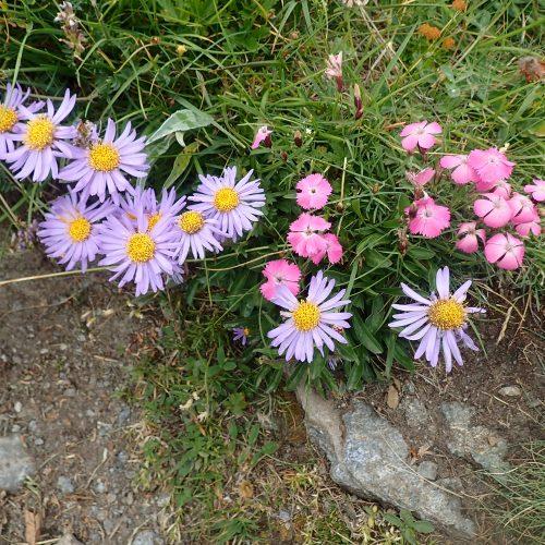 Aster Alpinus Et Dianthus Sp