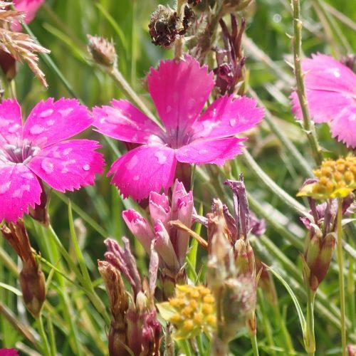 Dianthus Pavionus 2