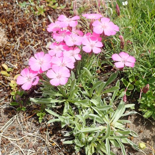 Dianthus Pavionus Oeillet Oeil De Paon Col Agnel