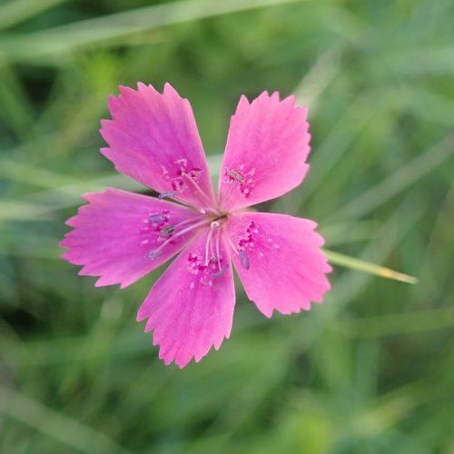Dianthus Sp