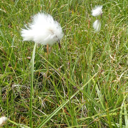Eriophorium Angustifolium Linaigrette A Feuilles Etroites