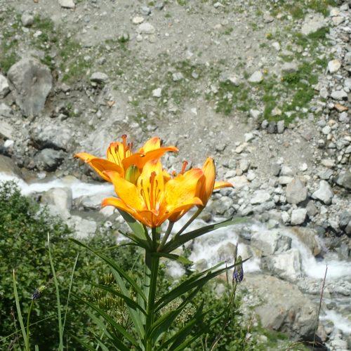 Lilium Bulbiferum Var. Croceum Lys Orange