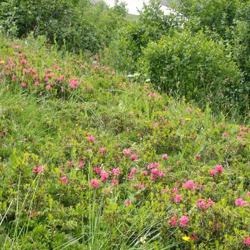 Rhododendron Ferruginum
