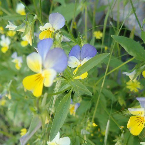 Viola Tricolore
